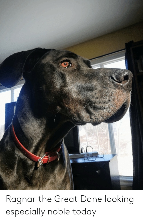 Today, Looking, and Great Dane: Ragnar the Great Dane looking especially noble today