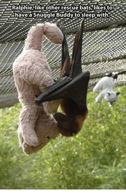 Ralphie: Ralphie, like other rescue bats, likes to2  have a Snuggle Buddy to sleep with