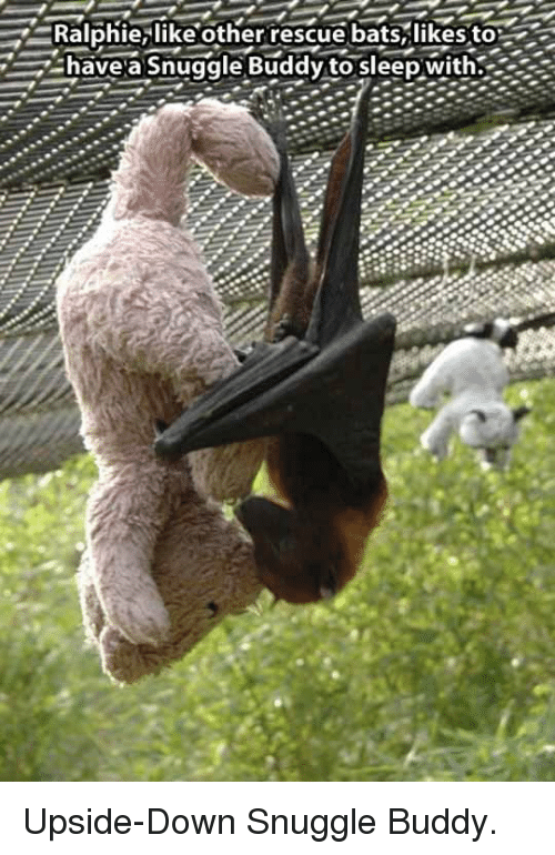 Ralphie: Ralphie,likeother rescue bats,likesto  have a Snuggle Buddy to sleep with. <p>Upside-Down Snuggle Buddy.</p>