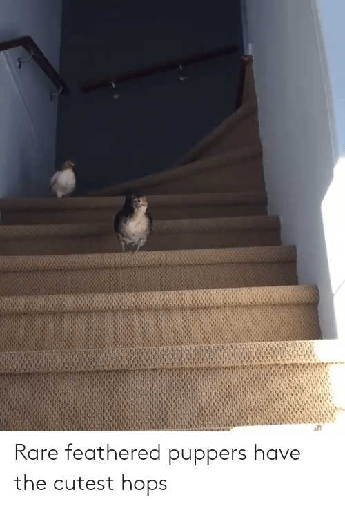 hops: Rare feathered puppers have the cutest hops
