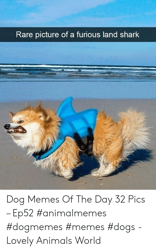 furious: Rare picture of a furious land shark Dog Memes Of The Day 32 Pics – Ep52 #animalmemes #dogmemes #memes #dogs - Lovely Animals World