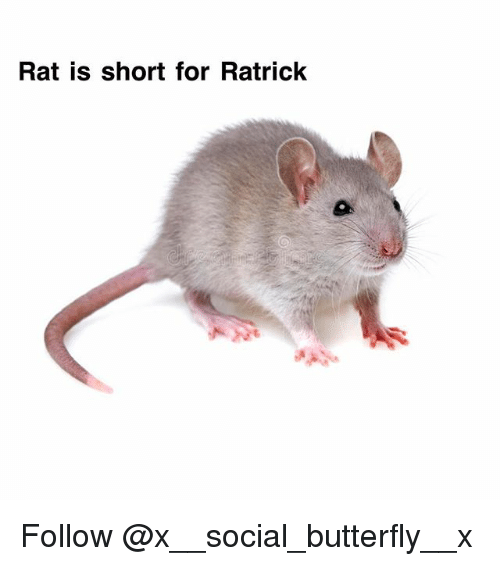 Memes, Butterfly, and 🤖: Rat is short for Ratrick Follow @x__social_butterfly__x