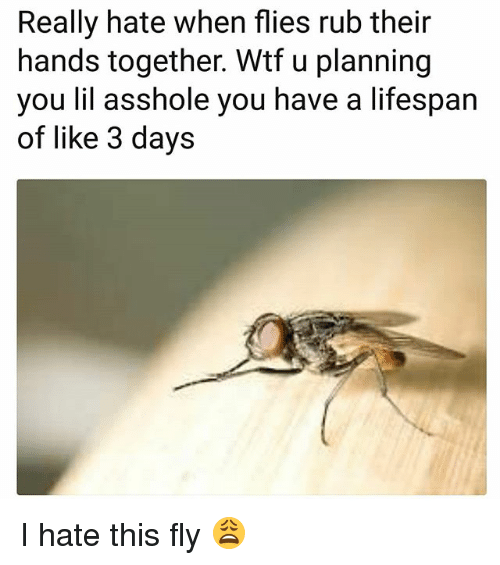 Funny, Wtf, and Asshole: Really hate when flies rub their  hands together. Wtf u planning  you lil asshole you have a lifespan  of like 3 days I hate this fly 😩