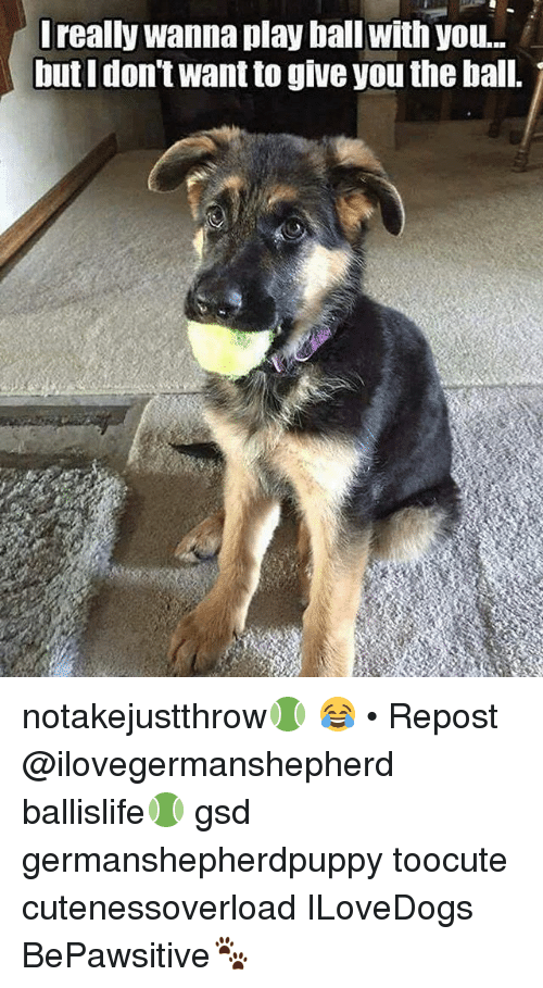 gsd: really wanna play ball with you..  butIdon't want to give you the ball. notakejustthrow🎾 😂 • Repost @ilovegermanshepherd ・・・ ballislife🎾 gsd germanshepherdpuppy toocute cutenessoverload ILoveDogs BePawsitive🐾