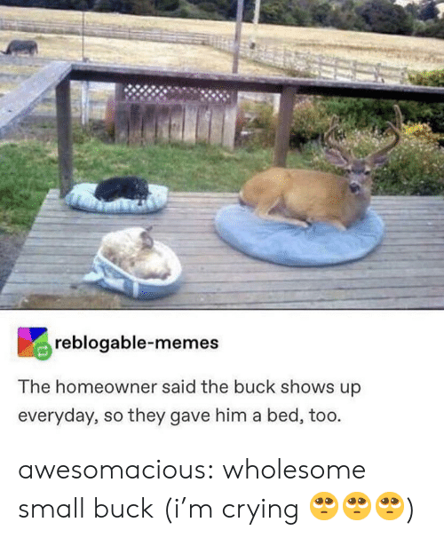 buck: reblogable-memes  The homeowner said the buck shows up  everyday, so they gave him a bed, too. awesomacious:  wholesome small buck (i'm crying 🥺🥺🥺)