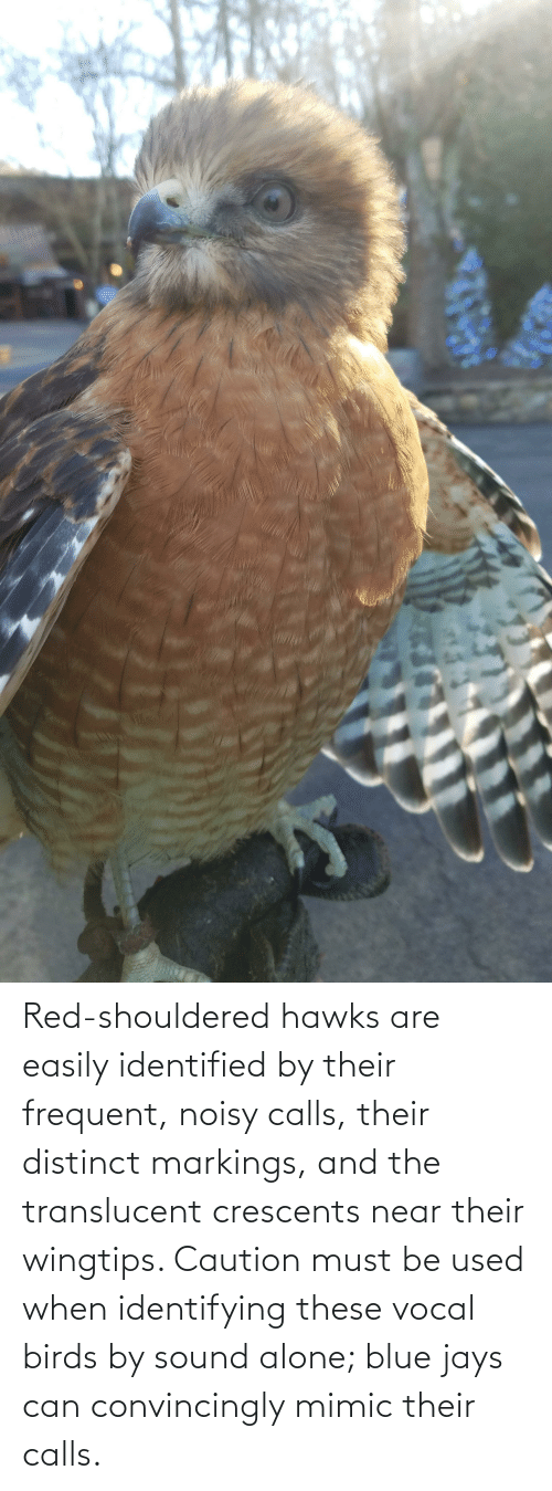 Jays: Red-shouldered hawks are easily identified by their frequent, noisy calls, their distinct markings, and the translucent crescents near their wingtips. Caution must be used when identifying these vocal birds by sound alone; blue jays can convincingly mimic their calls.