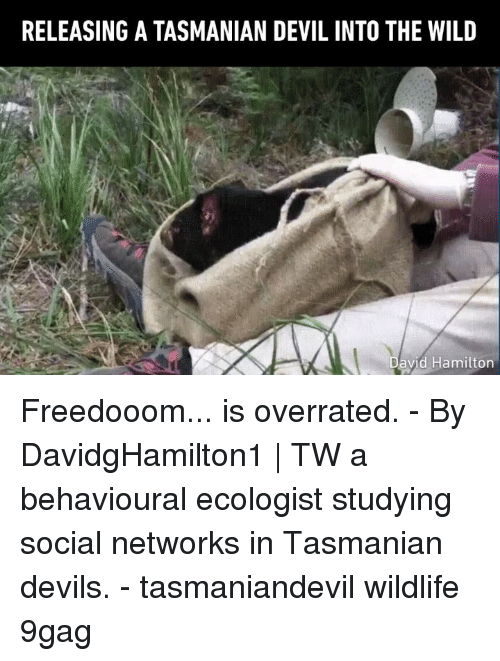 networks: RELEASING A TASMANIAN DEVIL INTO THE WILD  avid Hamilton Freedooom... is overrated. - By DavidgHamilton1 | TW a behavioural ecologist studying social networks in Tasmanian devils. - tasmaniandevil wildlife 9gag