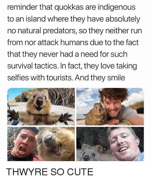 Cute, Love, and Run: reminder that quokkas are indigenous  to an island where they have absolutely  no natural predators, so they neither run  from nor attack humans due to the fact  that they never had a need for such  survival tactics. In fact, they love taking  selfies with tourists. And they smile THWYRE SO CUTE