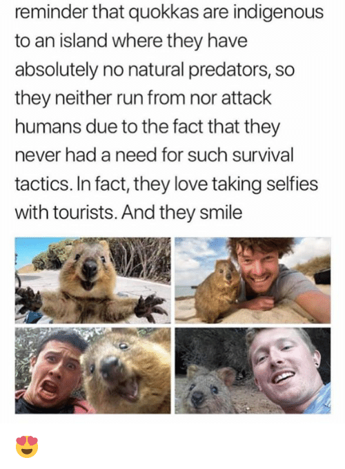 Love, Memes, and Run: reminder that quokkas are indigenous  to an island where they have  absolutely no natural predators, so  they neither run from nor attack  humans due to the fact that they  never had a need for such survival  tactics. In fact, they love taking selfies  with tourists. And they smile 😍