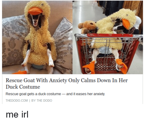 Rescue Goat With Anxiety Only Calms Down In Her Duck Costume - Rescue goat suffers anxiety calms duck costume