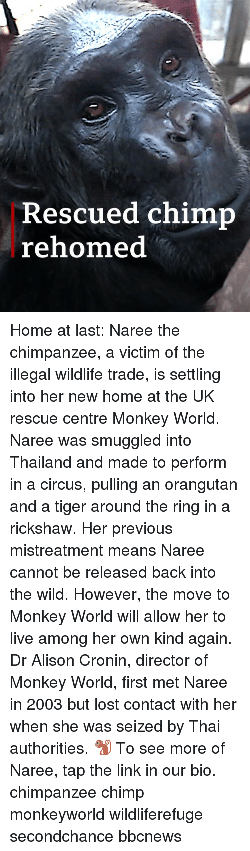 Chimp: Rescued chimp  rehomed Home at last: Naree the chimpanzee, a victim of the illegal wildlife trade, is settling into her new home at the UK rescue centre Monkey World. Naree was smuggled into Thailand and made to perform in a circus, pulling an orangutan and a tiger around the ring in a rickshaw. Her previous mistreatment means Naree cannot be released back into the wild. However, the move to Monkey World will allow her to live among her own kind again. Dr Alison Cronin, director of Monkey World, first met Naree in 2003 but lost contact with her when she was seized by Thai authorities. 🐒 To see more of Naree, tap the link in our bio. chimpanzee chimp monkeyworld wildliferefuge secondchance bbcnews