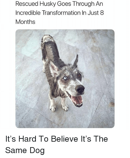 Funny, Husky, and Dog: Rescued Husky Goes Through An  Incredible Transformation In Just 8  Months It's Hard To Believe It's The Same Dog