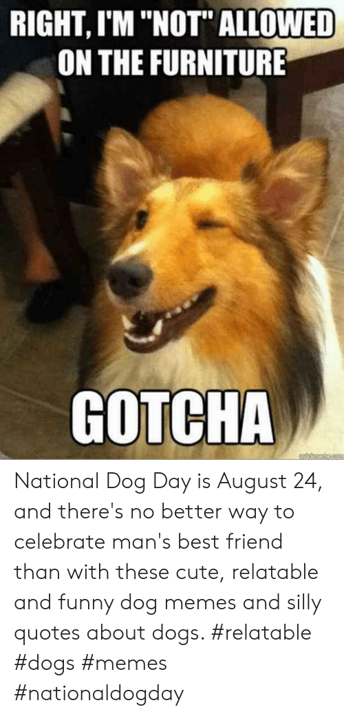 """Silly Quotes: RIGHT, I'M """"NOT"""" ALLOWED  ON THE FURNITURE  GOTCHA National Dog Day is August 24, and there's no better way to celebrate man's best friend than with these cute, relatable and funny dog memes and silly quotes about dogs.  #relatable #dogs #memes #nationaldogday"""