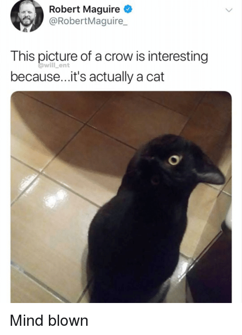 Maguire: Robert Maguire  @RobertMaguire  This picture of a crow is interesting  because...it's actually a cat  @will ent Mind blown