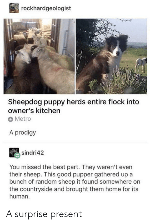 pupper: rockhardgeologist  Sheepdog puppy herds entire flock into  owner's kitchen  Metro  A prodigy  sindri42  You missed the best part. They weren't even  their sheep. This good pupper gathered up a  bunch of random sheep it found somewhere on  the countryside and brought them home for its  human A surprise present