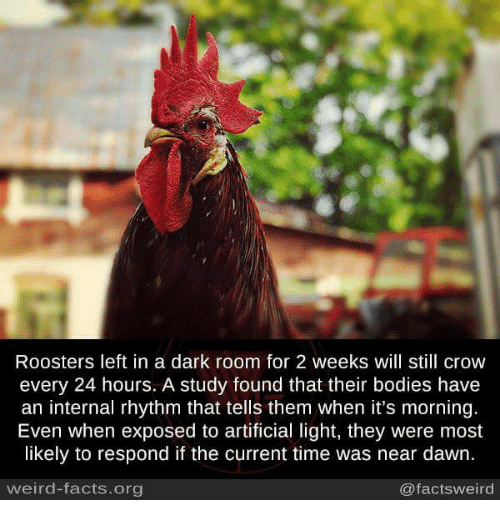 Memes, 🤖, and Dark: Roosters left in a dark room for 2 weeks will still crow  every 24 hours. A study found that their bodies have  an internal rhythm that tells them when it's morning.  Even when exposed to artificial light, they were most  likely to respond if the current time was near dawn.  weird-facts.org  @facts weird
