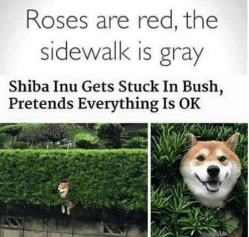Shiba Inu: Roses are red, the  sidewalk is gray  Shiba Inu Gets Stuck In Bush,  Pretends Everything Is OK