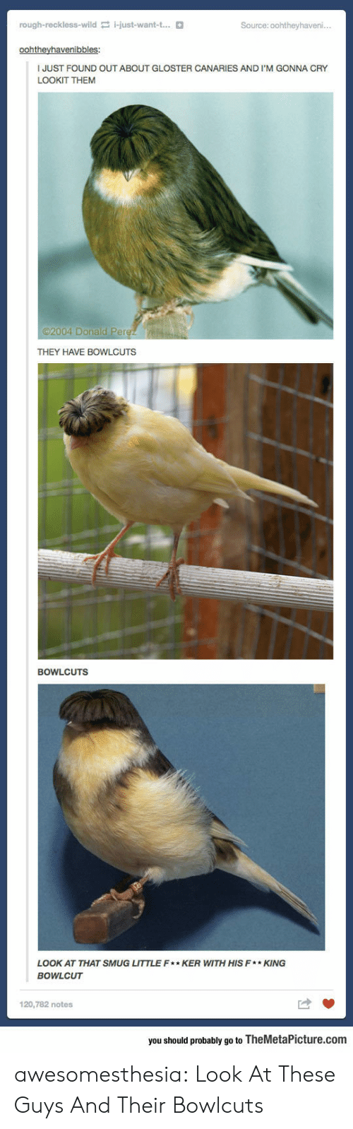 smug: rough-reckless-wild i-just-want-t...  Source: 0ohtheyhaveni..  oohtheyhavenibbles:  JUST FOUND OUT ABOUT GLOSTER CANARIES AND I'M GONNA CRY  LOOKIT THEM  2004 Donald Perez  THEY HAVE BOWLCUTS  BOWLCUTS  LOOK AT THAT SMUG LITTLE F* KER WITH HIS F*KING  BOWLCUT  120,782 notes  you should probably go to TheMetaPicture.com awesomesthesia:  Look At These Guys And Their Bowlcuts