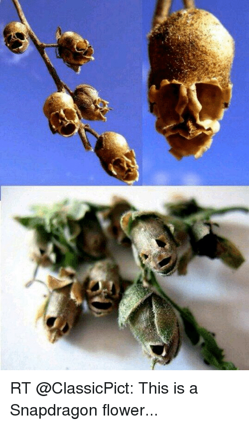 Memes, Flower, and Http: RT @ClassicPict: This is a Snapdragon flower...