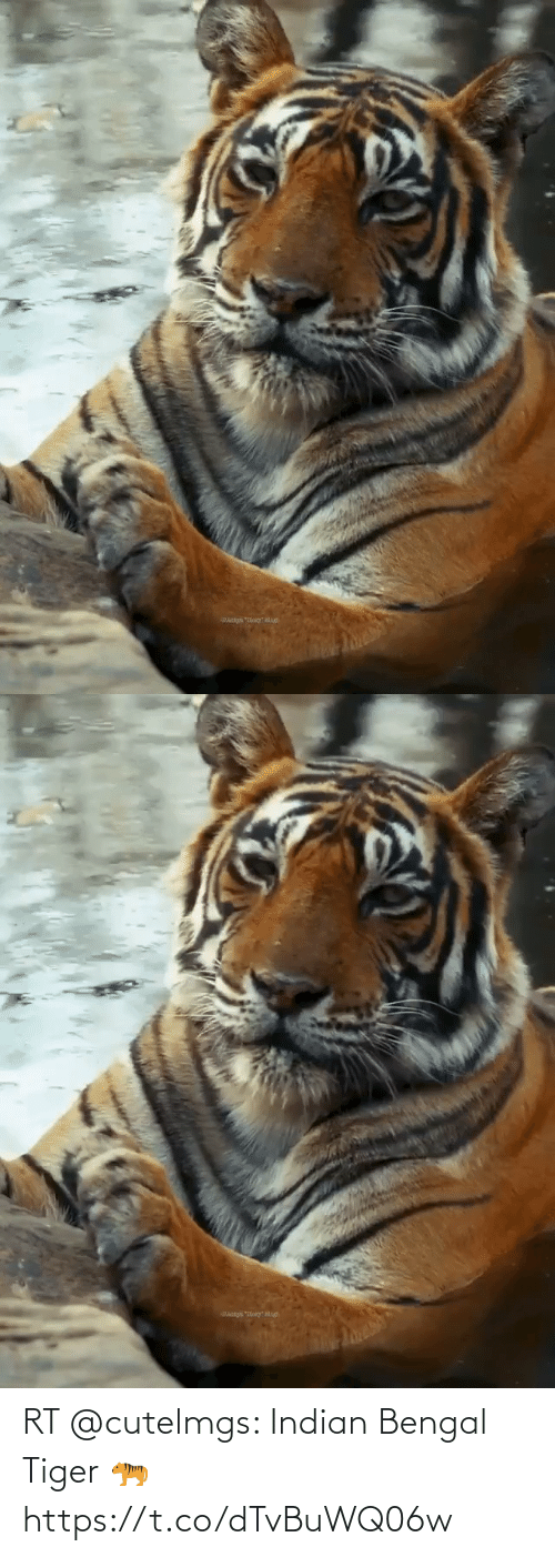 Indian: RT @cutelmgs: Indian Bengal Tiger 🐅 https://t.co/dTvBuWQ06w