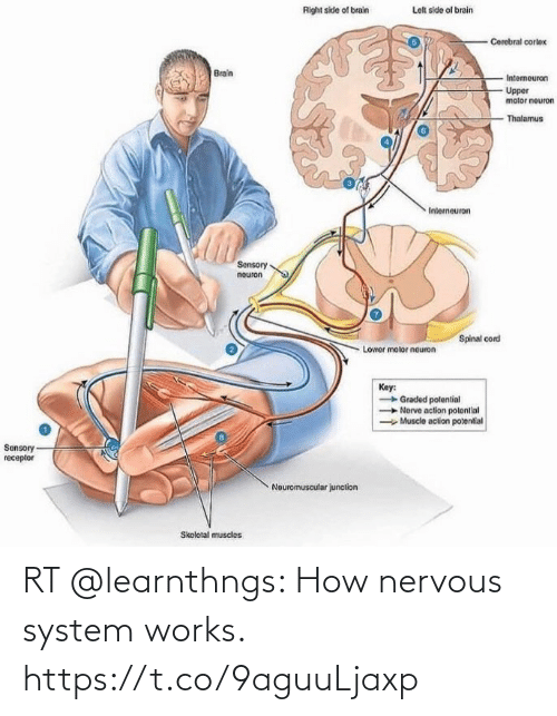works: RT @learnthngs: How nervous system works. https://t.co/9aguuLjaxp