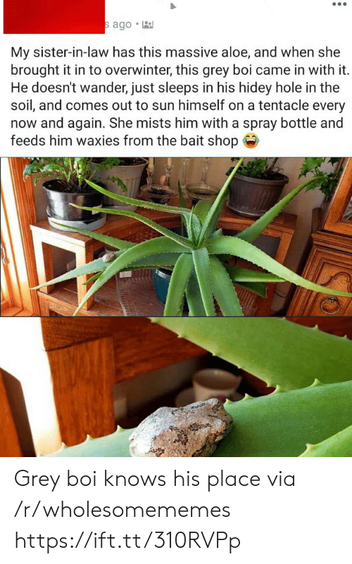 Wander: s ago  My sister-in-law has this massive aloe, and when she  brought it in to overwinter, this grey boi came in with it.  He doesn't wander, just sleeps in his hidey hole in the  soil, and comes out to sun himself on a tentacle every  now and again. She mists him with a spray bottle and  feeds him waxies from the bait shop Grey boi knows his place via /r/wholesomememes https://ift.tt/310RVPp
