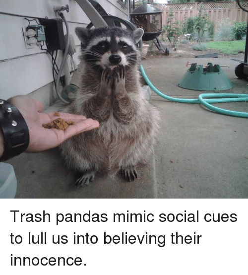 Trash, Panda, and Socialism: s Trash pandas mimic social cues to lull us into believing their innocence.