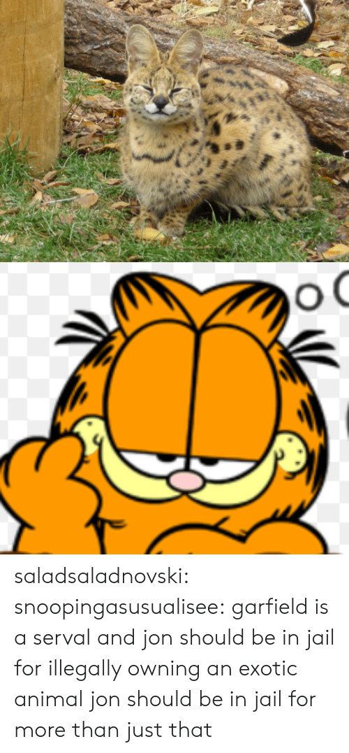 exotic: saladsaladnovski: snoopingasusualisee:  garfield is a serval and jon should be in jail for illegally owning an exotic animal  jon should be in jail for more than just that