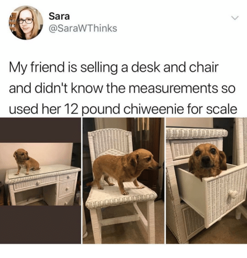 Desk, Chair, and Her: Sara  @SaraWThinks  My friend is selling a desk and chair  and didn't know the measurements so  used her 12 pound chiweenie for scale