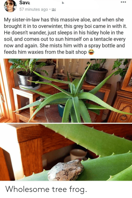 feeds: Sava  57 minutes ago  My sister-in-law has this massive aloe, and when she  brought it in to overwinter, this grey boi came in with it.  He doesn't wander, just sleeps in his hidey hole in the  soil, and comes out to sun himself on a tentacle every  now and again. She mists him with a spray bottle and  feeds him waxies from the bait shop Wholesome tree frog.