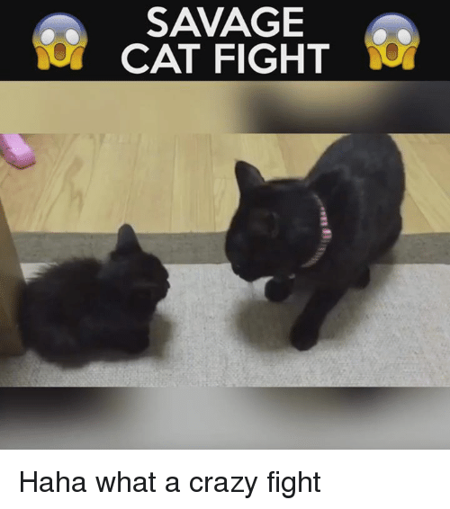 Crazy, Memes, and Savage: SAVAGE  CAT FIGHT Haha what a crazy fight