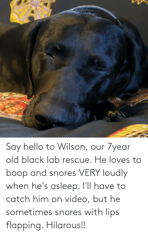 flapping: Say hello to Wilson, our 7year old black lab rescue. He loves to boop and snores VERY loudly when he's asleep. I'll have to catch him on video, but he sometimes snores with lips flapping. Hilarous!!