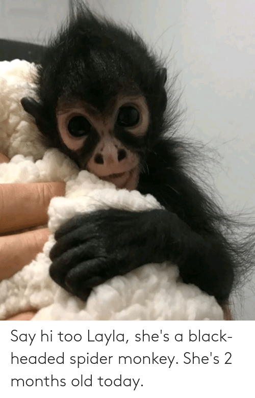 spider monkey: Say hi too Layla, she's a black-headed spider monkey. She's 2 months old today.