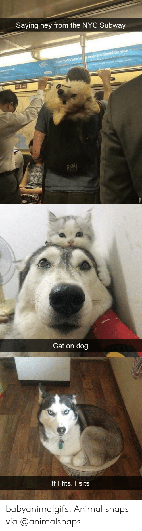 Best Cat: Saying hey from the NYC Subway  Rated by your  Now York's best   Cat on dog   If I fits, I sits babyanimalgifs: Animal snaps via @animalsnaps