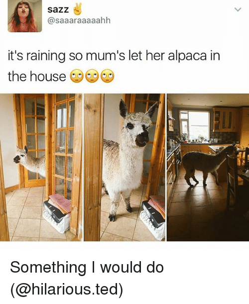 Funny, Ted, and House: saZZ  asaaaraaaaahh  it's raining so mum's let her alpaca in  the house Something I would do (@hilarious.ted)