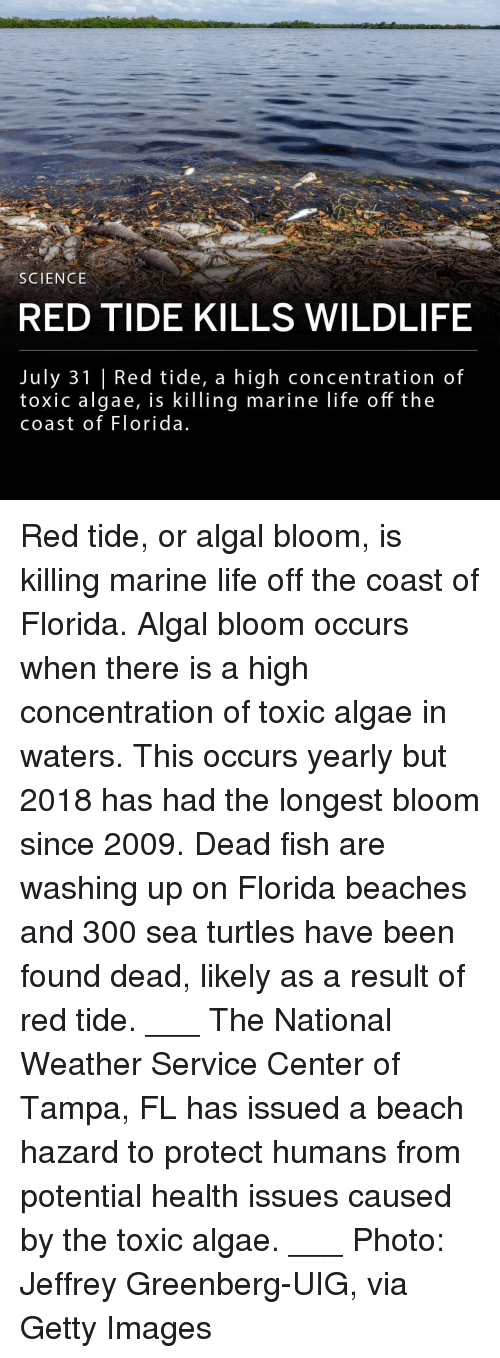 Life, Memes, and Beach: SCIENCE  RED TIDE KILLS WILDLIFE  July 31 |Red tide, a high concentration of  toxic algae, is killing marine life off the  coast of Florida Red tide, or algal bloom, is killing marine life off the coast of Florida. Algal bloom occurs when there is a high concentration of toxic algae in waters. This occurs yearly but 2018 has had the longest bloom since 2009. Dead fish are washing up on Florida beaches and 300 sea turtles have been found dead, likely as a result of red tide. ___ The National Weather Service Center of Tampa, FL has issued a beach hazard to protect humans from potential health issues caused by the toxic algae. ___ Photo: Jeffrey Greenberg-UIG, via Getty Images