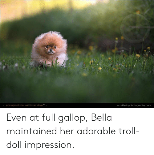 troll doll: SCRUFFY DOG RH01OGRARH  DO NOT COFY pleose 26nal G  photography for well loved dogsM  scruffydogphotography.com Even at full gallop, Bella maintained her adorable troll-doll impression.