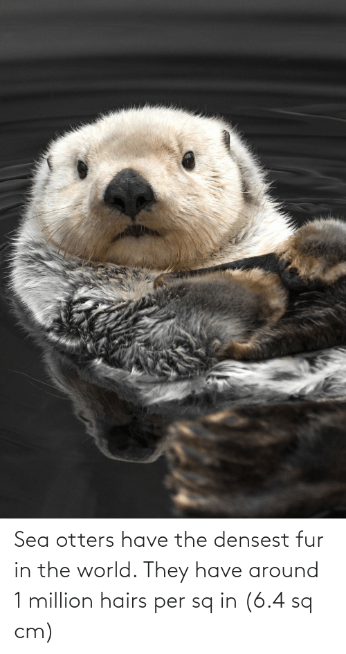 Otters: Sea otters have the densest fur in the world. They have around 1 million hairs per sq in (6.4 sq cm)