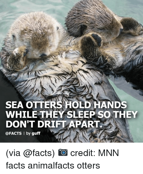 Otters: SEA OTTERS HOLD HANDS  WHILE THEY SLEEP SO THEY  DON'T DRIFT APART  @FACTS | by guff (via @facts) 📷 credit: MNN facts animalfacts otters