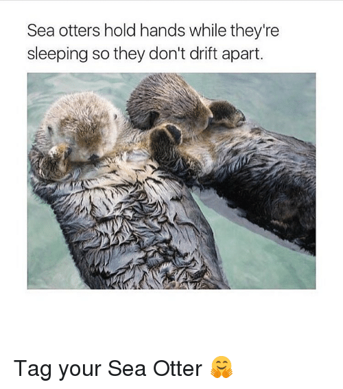 sea otter: Sea otters hold hands while they're  sleeping so they don't drift apart. Tag your Sea Otter 🤗