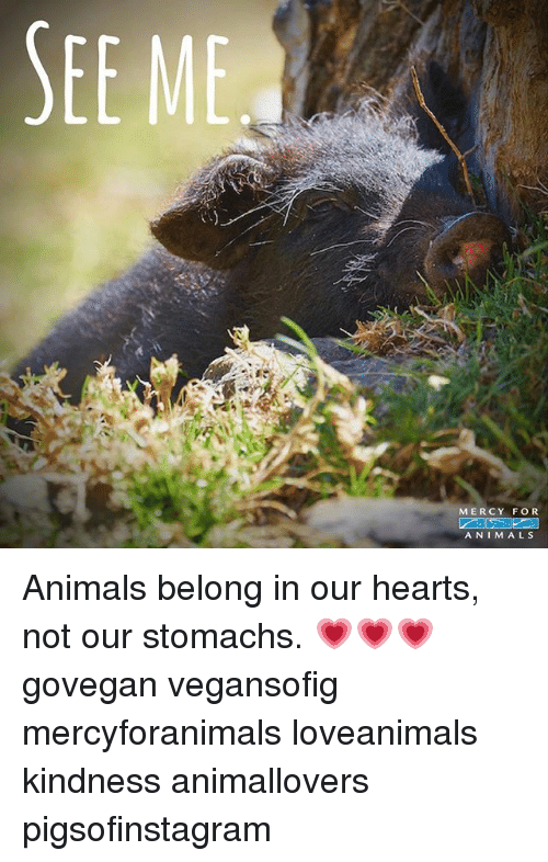Animals, Memes, and Hearts: SEE ME  MERCY FOR  ANIMALS Animals belong in our hearts, not our stomachs. 💗💗💗 govegan vegansofig mercyforanimals loveanimals kindness animallovers pigsofinstagram