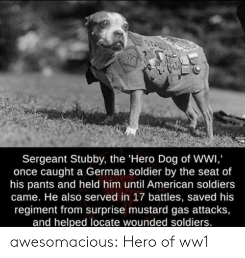 battles: Sergeant Stubby, the 'Hero Dog of WWI,  once caught a German soldier by the seat of  his pants and held him until American soldiers  came. He also served in 17 battles, saved his  regiment from surprise mustard gas attacks,  and helped locate wounded soldiers. awesomacious:  Hero of ww1