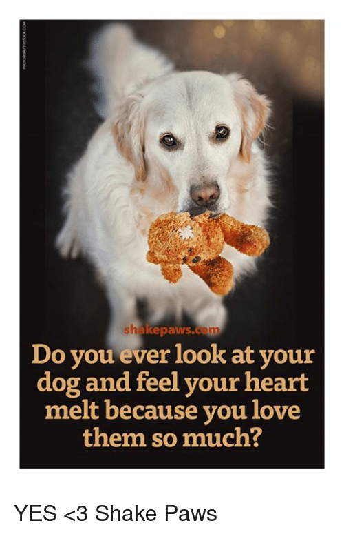 Dogs, Memes, and 🤖: shake paws.com  Do you ever look at your  dog and feel your heart  melt because you love  them so much? YES <3 Shake Paws