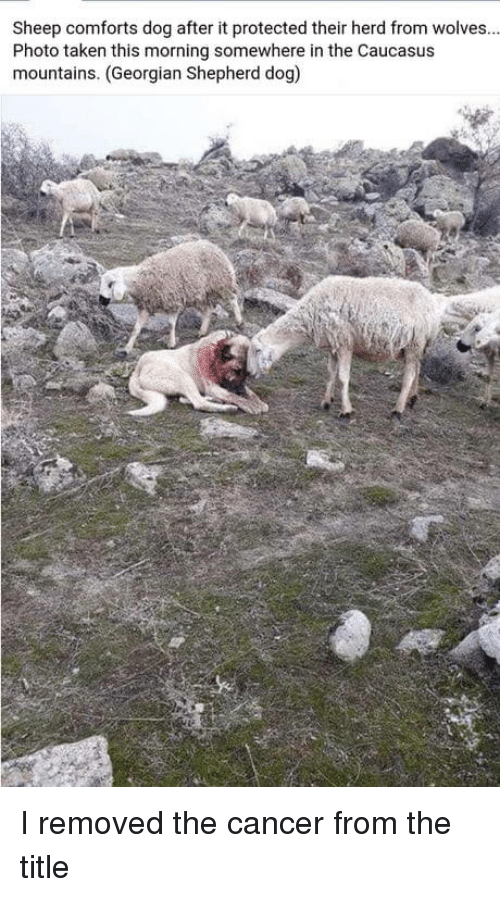 Georgian: Sheep comforts dog after it protected their herd from wolves.  Photo taken this morning somewhere in the Caucasus  mountains. (Georgian Shepherd dog) I removed the cancer from the title