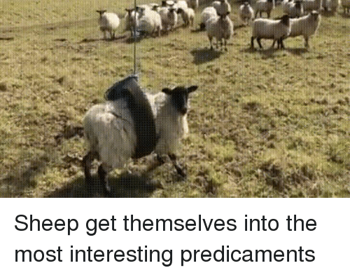 Funny, Sheep, and Get: Sheep get themselves into the most interesting predicaments