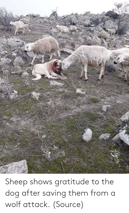 gratitude: Sheep shows gratitude to the dog after saving them from a wolf attack. (Source)