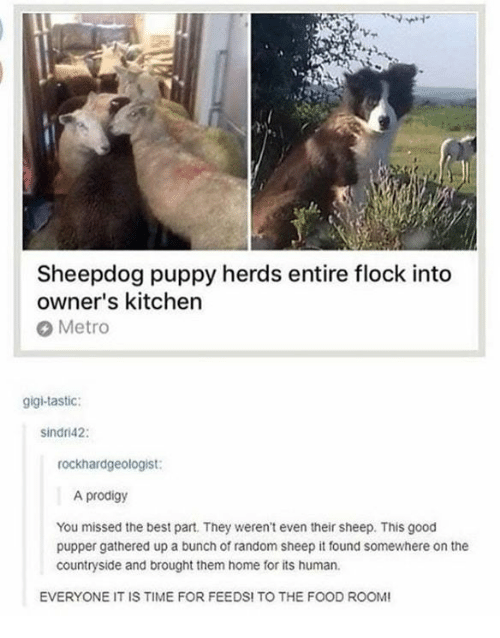 gigi: Sheepdog puppy herds entire flock into  owner's kitchen  Metro  gigi-tastic:  sindri42:  rockhardgeologist:  A prodigy  You missed the best part. They weren't even their sheep. This good  pupper gathered up a bunch of random sheep it found somewhere on the  countryside and brought them home for its human.  EVERYONE IT IS TIME FOR FEEDS! TO THE FOOD ROO