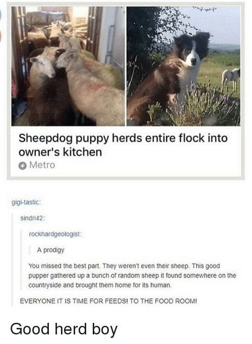 gigi: Sheepdog puppy herds entire flock into  owner's kitchen  Metro  gigi-tastic:  sindri42:  rockhardgeologist:  A prodigy  You missed the best part. They weren't even their sheep. This good  pupper gathered up a bunch of random sheep it found somewhere on the  countryside and brought them home for its human  EVERYONE IT IS TIME FOR FEEDS! TO THE FOOD ROOM! <p>Good herd boy</p>