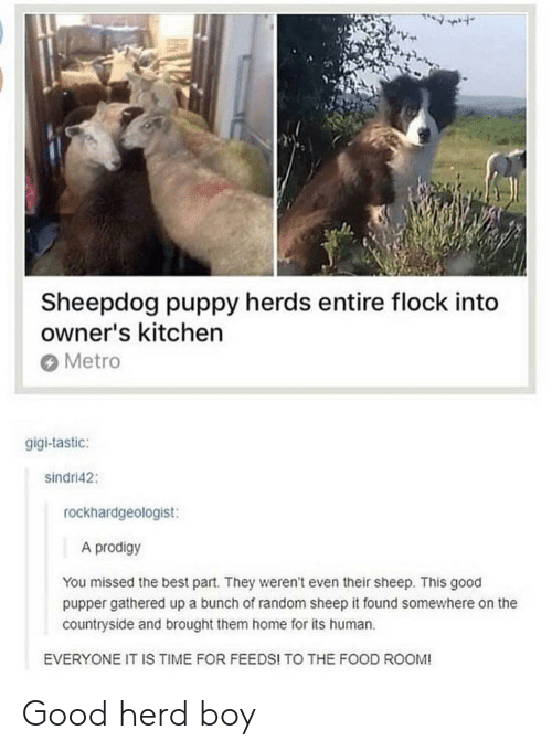 gigi: Sheepdog puppy herds entire flock into  owner's kitchen  Metro  gigi-tastic:  sindri42:  rockhardgeologist:  A prodigy  You missed the best part. They weren't even their sheep. This good  pupper gathered up a bunch of random sheep it found somewhere on the  countryside and brought them home for its human  EVERYONE IT IS TIME FOR FEEDS! TO THE FOOD ROOM! Good herd boy
