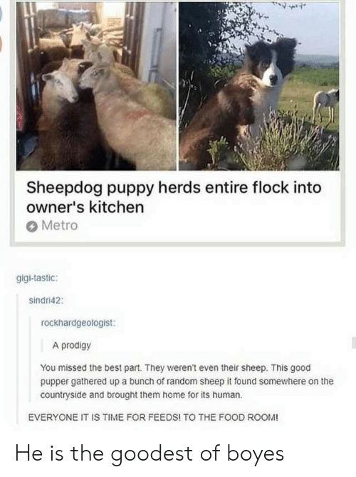 gigi: Sheepdog puppy herds entire flock into  owner's kitchen  Metro  gigi-tastic:  sindri42  rockhardgeologist:  A prodigy  You missed the best part. They weren't even their sheep. This good  pupper gathered up a bunch of random sheep it found somewhere on the  countryside and brought them home for its human.  EVERYONE IT IS TIME FOR FEEDS! TO THE FOOD ROOM! He is the goodest of boyes